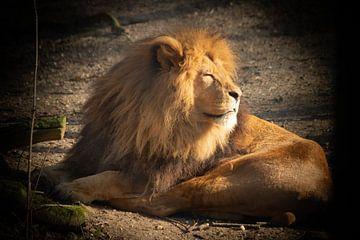 De koning van de dieren - DE LEEUW van Marcel Mombarg