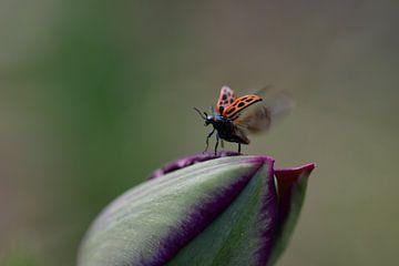 Zeldzaam lieveheersbeestje. van Moniek van Hoof-Geenen