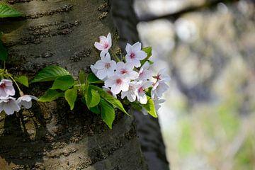 Kersenbloesem ontspruit op boomstam van Evelien Doosje