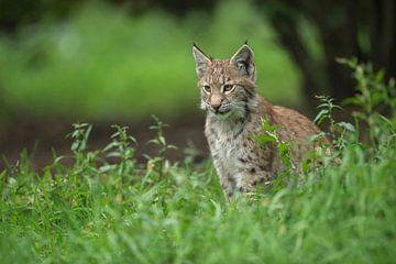 Luchs / Eurasischer Luchs (Lynx lynx), Jungtier im hohen Gras unter einem Busch,  schöne Bildaufteil von wunderbare Erde