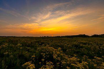 Sonnenuntergang über blühendem Feld