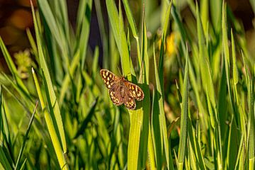 Sonnenbadender Schmetterling von Maico.O
