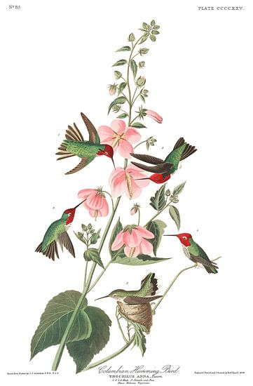 Anna's Kolibrie van Birds of America
