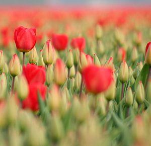 Red tulips van Lory van der Neut