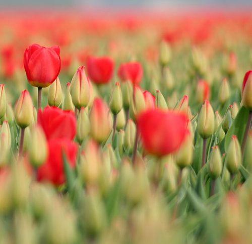 Red tulips van