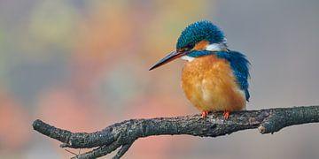 IJsvogel in pastelkleuren, panoramaformaat