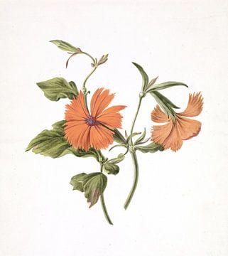 Gelbe chinesische Rose (Rosa Chinensis Lutea) von M. de Gijselaar, 1820