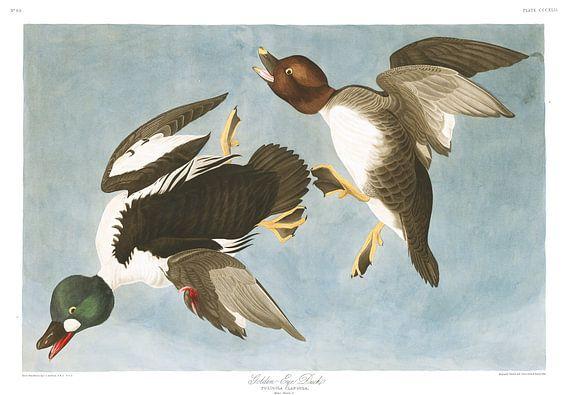 Brilduiker van Birds of America