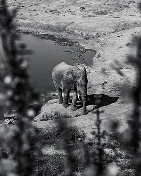 Durstiger Afrikanischer Elefant 2,0 von Ian Schepers