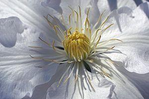 Witte anemoon van JTravel