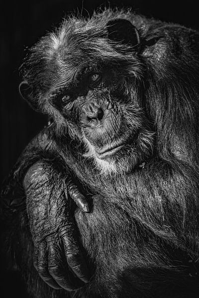 Aap  in zwart wit van Celina Dorrestein