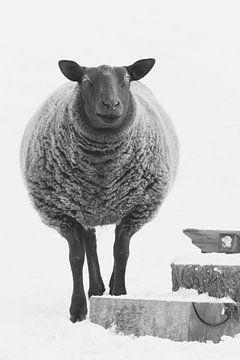 Sarah het schaap in de sneeuw van Marco Willemsen