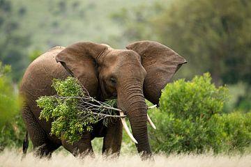 Afrikanischer Elefant (Loxodonta africana) mit einem großen Baumast im Mund. von