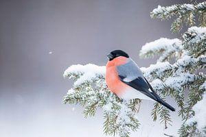 Goudvink in de sneeuw.