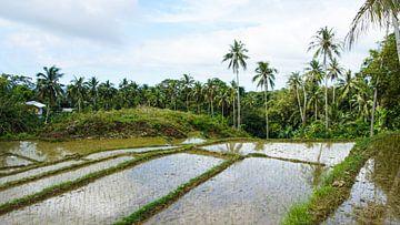 Reisfelder auf Siquijor, Philippinen (horizontal) von Jessica Lokker