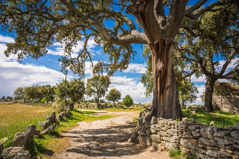 Cork oak  von Anneke Hooijer