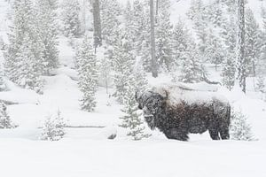 American Bison ( Bison bison ) in heavy snowfall
