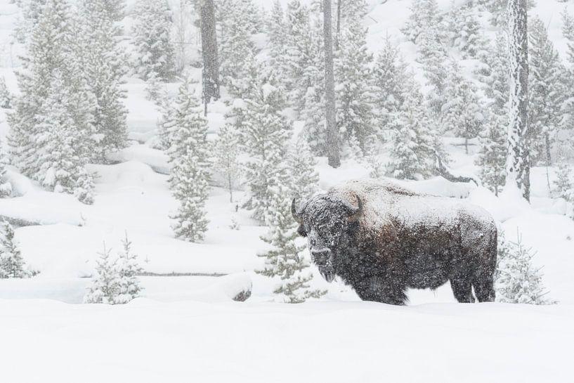 American Bison ( Bison bison ) in heavy snowfall van wunderbare Erde