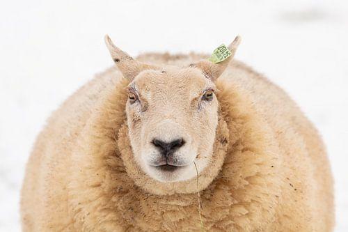 Portret van een schaap van