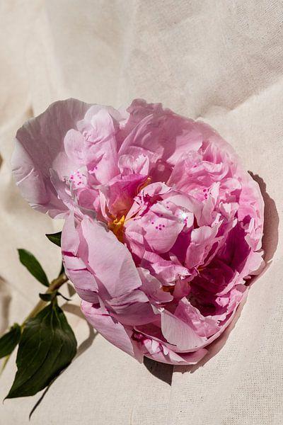 Pioenroos op stof closeup van Emilia Aivazian Fotografie