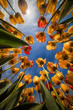 Tulipes jaunes / orange et rouges photographiées par le bas. sur