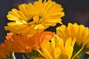 In de zon, een zonnige gele en oranje goudsbloem van J..M de Jong-Jansen