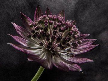 """zeeuws knoopje in """"stomend licht"""" (bloem) van Marjolijn van den Berg"""