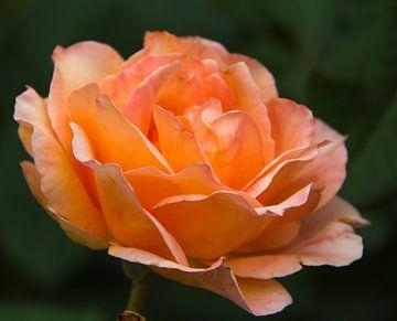 Oranje roos 2 von José Verstegen