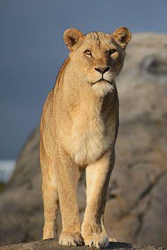 Female Lion van Sjoerd Reitsma