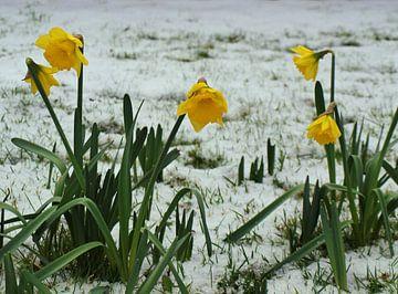 Winter en lente tegelijk van Rinke Velds