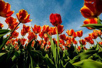 Hollandse Tulpen tegen de Hemel van Brian Morgan