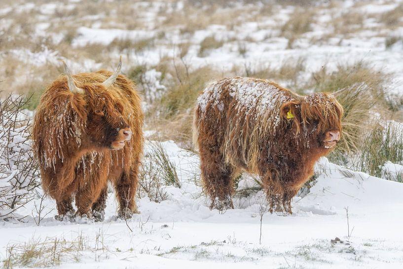 Schotse hooglanders in de sneeuw van Dirk van Egmond