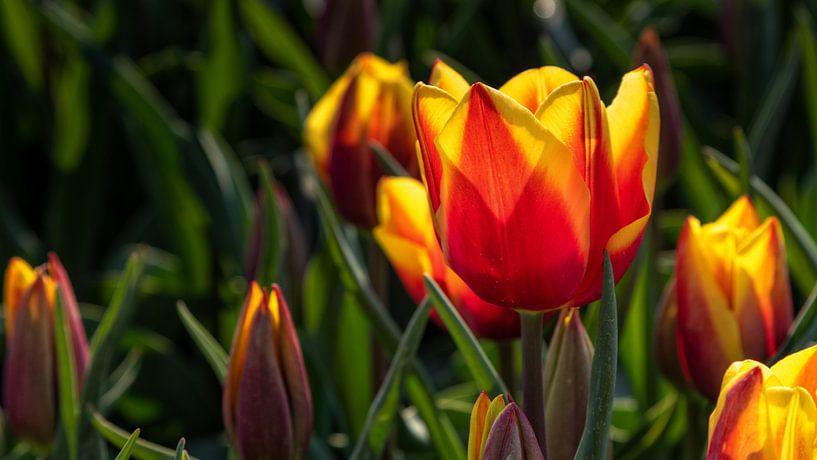 Rood gele tulpen in tegenlicht van Bram van Broekhoven