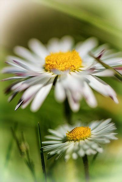 Gänseblümchen in der Frühlingssonne von Nicc Koch
