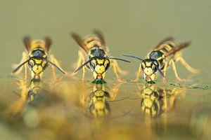 Drie drinkende wespen van