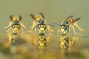 Drie drinkende wespen