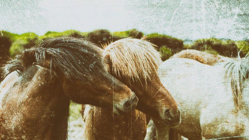 Rispað 1 sur Islandpferde  | IJslandse paarden | Icelandic horses