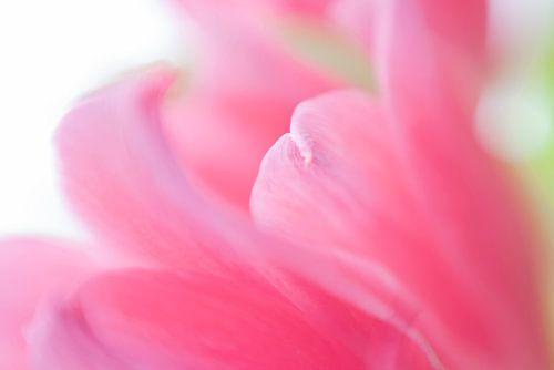 Roze gloed van