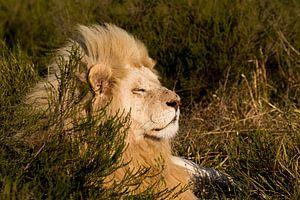 Weißer Löwe in der Sonne