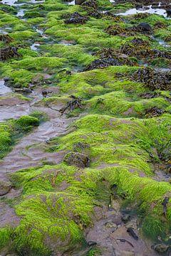 Algues marines sur Johan Zwarthoed