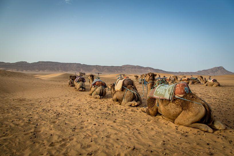 Camels in Desert van Julian Buijzen