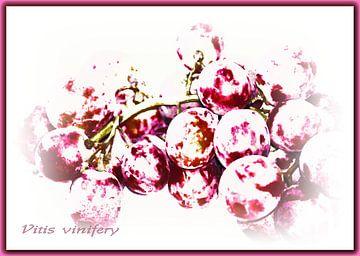 Rote Weintrauben sur Rosi Lorz