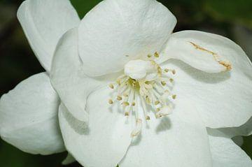Witte Bloem van Agnes Meijer