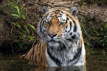 Ein Tiger sitzt im Wasser von Jimmy van Drunen