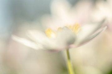 Romantisches Bild der Bosun-Anemone, Foto 8 von Caroline van der Vecht