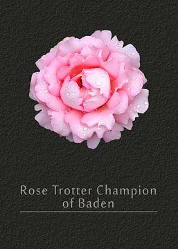 Rose Badener Traberchampion von Leopold Brix