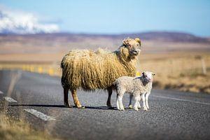 IJslandse schapen op de weg van