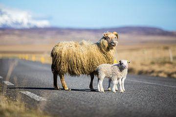 IJslandse schapen op de weg sur Chris Snoek