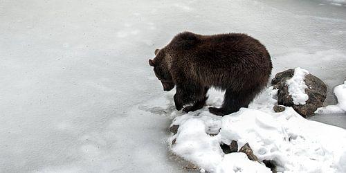 Bruine beer bij bevroren meer van