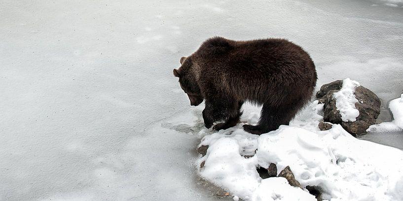 Bruine beer bij bevroren meer van Monique Pouwels